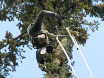 Arborist rigging down Fir tree