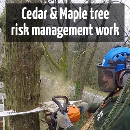 Cedar tree removal & Maple tree hazard prune by ClimbingArborist.com
