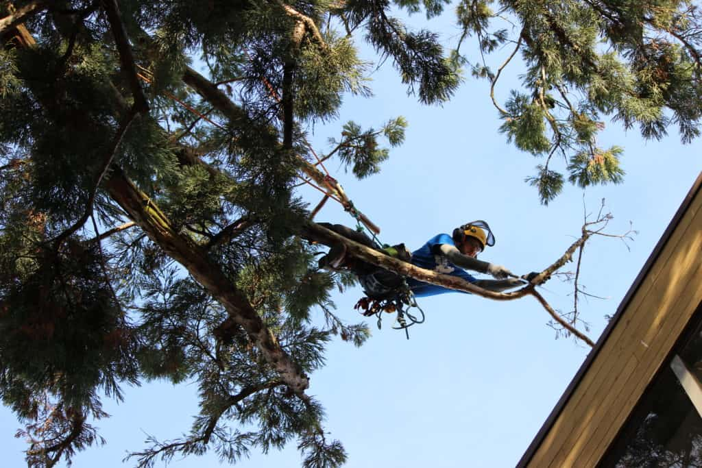 Arborist pruning a Sequioa branch