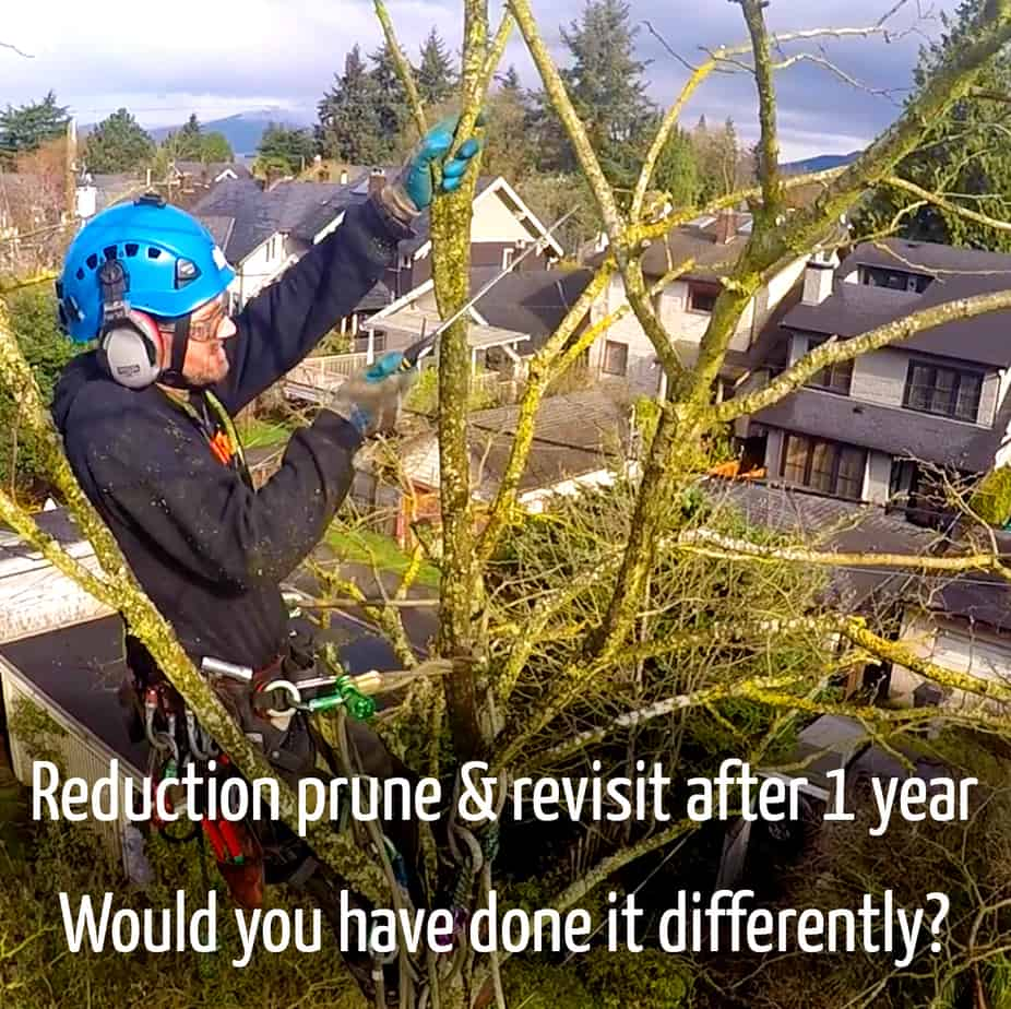 Robinia reduction prune & revisit | ClimbingArborist.com