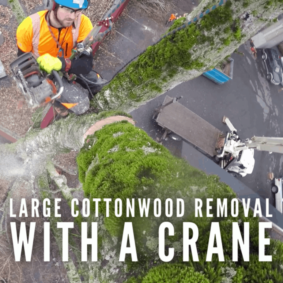 removing this large Cottonwood with a crane