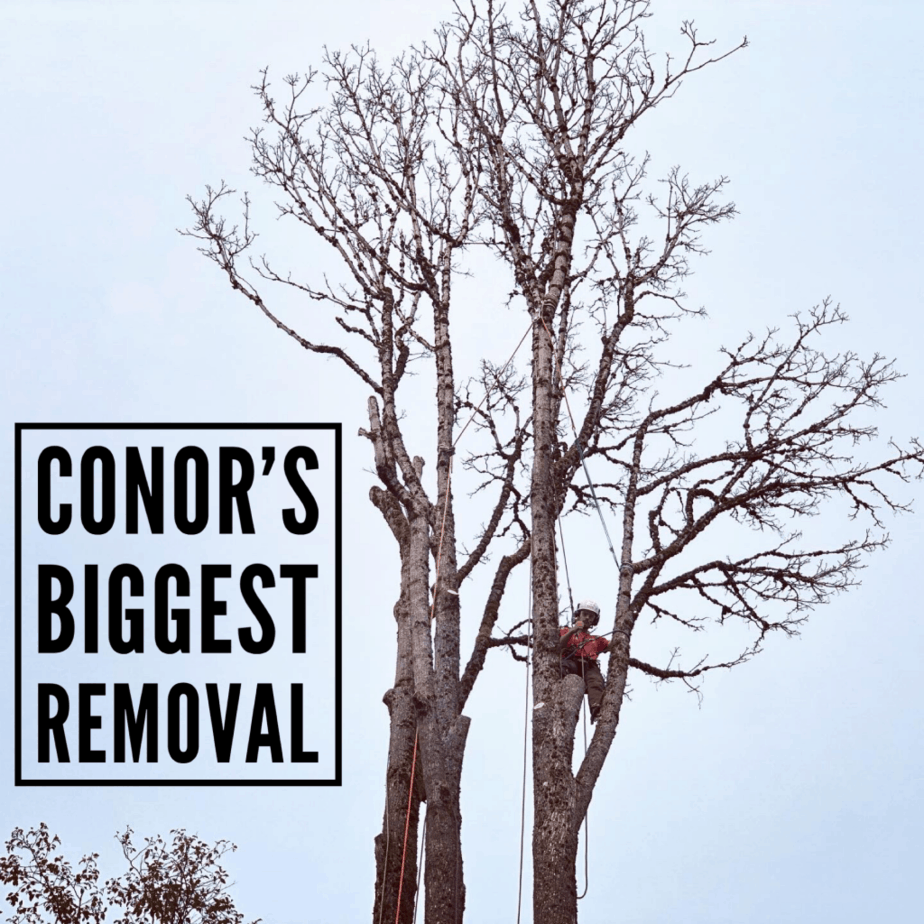 Arborist removing Maple tree - ClimbingArborist.com