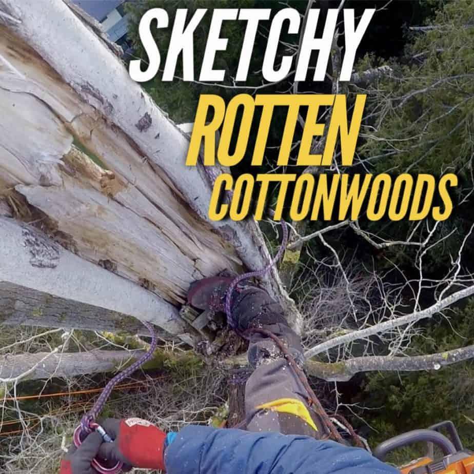 Sketchy Rotten Cottonwoods ClimbingArborist.com